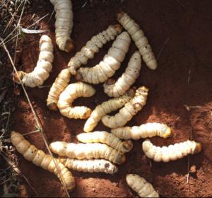 Some Australian tjapa (Endoxyla leucomochla)
